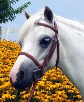 Americana Plain Raised Bridle, Cob Only