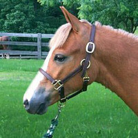 Pony Yearling Halter