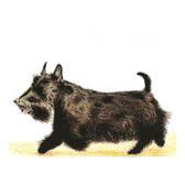 Scottie Note Card