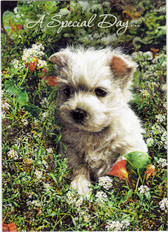"""A Special Day"" Westie Birthday Card"