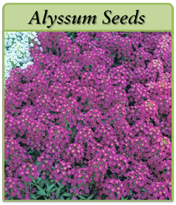 alyssum-seeds-logo.png