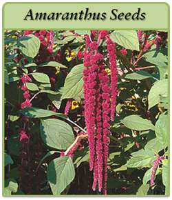amaranthus-seeds-logo.png