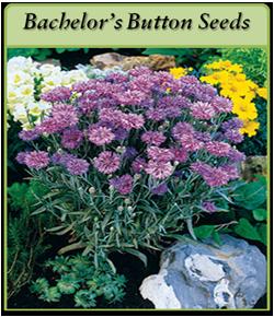 bachelor-s-button-seeds-log.png
