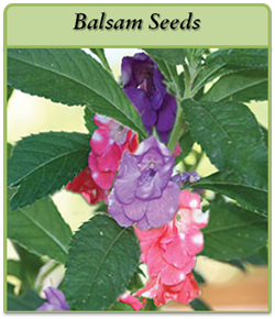 balsam-seeds.png