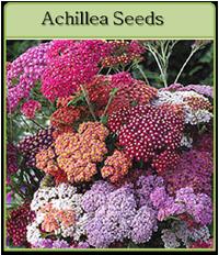 Achillea Seeds