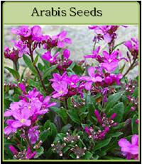 Arabis Seeds