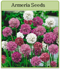 Armeria Seeds