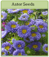 Aster Seeds