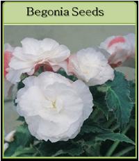 Begonia Seeds