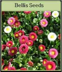 Bellis Seeds