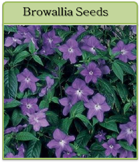 Browallia Seeds