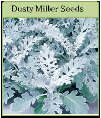 Dusty Miller Seeds