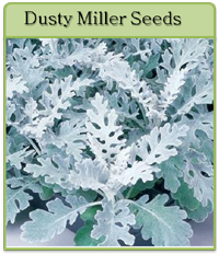 Dusty Miller Seeds
