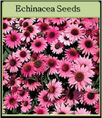 Echinacea Seeds