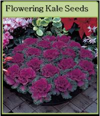 Flowering Kale Seeds