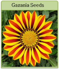 Gazania Seeds