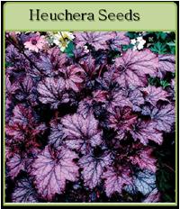 Heuchera Seeds