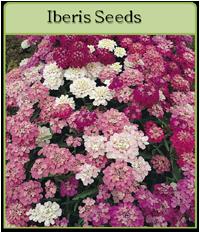 Iberis Seeds