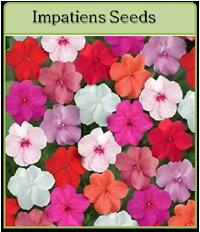 Impatiens Seeds