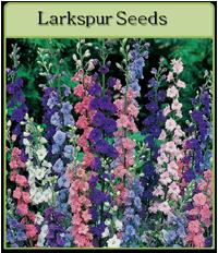 Larkspur Seeds