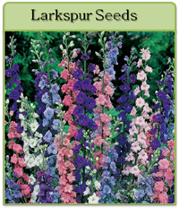 Larkspur Seeds