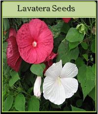 Lavatera Seeds