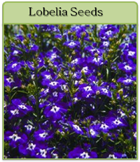 Lobelia Seeds