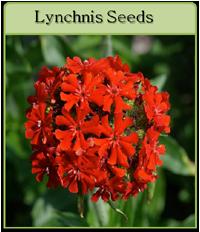 Lynchnis Seeds