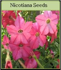 Nicotiana Seeds