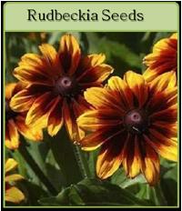 Rudbeckia Seeds