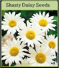 Shasty Daisy Seeds