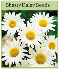 Shasty Daisy Seeds