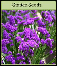 Statice Seeds