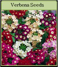 Verbena Seeds