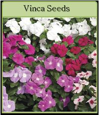 Vinca Seeds