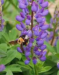 bumblebeeonlupine.jpg