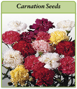 carnation-seeds.png