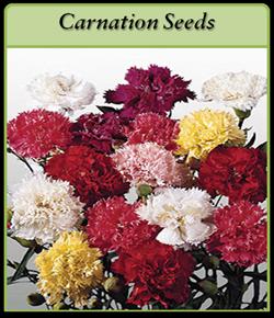 carnation-seeds.png