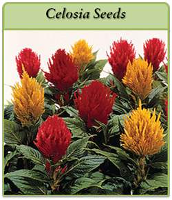 celosia-seeds-logo.png