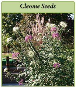 cleome-seeds-logo.png