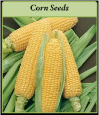 corn-seeds-logo.png
