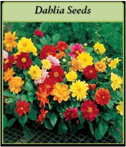 dahlia-seeds-logo.png