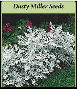 dusty-miller-seeds-logo.png