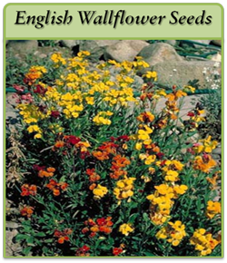 english-wallflower-seeds-lo.png