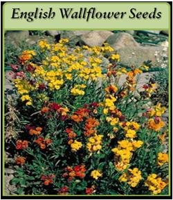 english-wallflower-seeds-lo.png