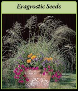 eragrostic-seeds-logo.png