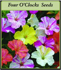 four-o-clocks-seeds-logo.png