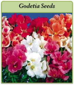 godetia-seeds.png