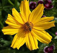 honeybeeoncoreopsis.jpg