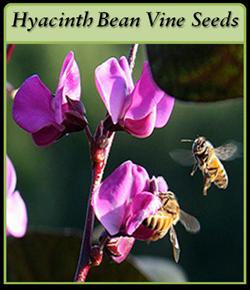hyacinth-bean-vine-seeds-lo.png